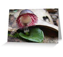 Bush Helmet. Veined Helmet Orchid - Corybas dilatatus Greeting Card