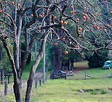 Persimmons by Sherilyn Hawley
