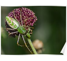 Green Lynx Spider! Poster