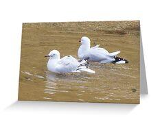 Bath time. Silver Gull - Chroicocephalus novaehollandiae Greeting Card