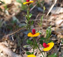 Isotropis cuneifolia by kalaryder