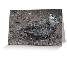 Green wing. Pacific Black Duck - Anas superciliosa Greeting Card