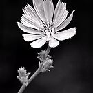 Chicory Flower by Sharon Woerner