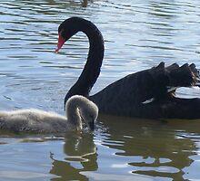 Mum and Bub. Black Swan - Cygnus atratus by Lydia Heap