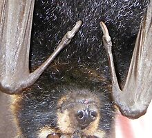 Why are you upside down? Specticled Flying-fox - Pteropus conspicillatus by Lydia Heap