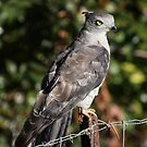 Pacific Baza by triciaoshea