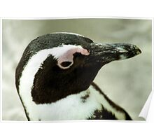South African Penguin Portrait Poster
