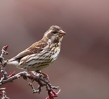 Purple Finch Female by naturalnomad