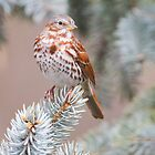 Fox Sparrow  by Michaela Sagatova