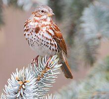 Fox Sparrow  by PixlPixi