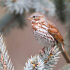 Fox Sparrow 2 by Michaela Sagatova