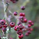Winter Tintern Berries by Amanda Clegg
