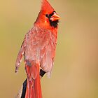 Northern Cardinal Male by Michaela Sagatova