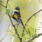 Yellowrumped Warbler by Michaela Sagatova