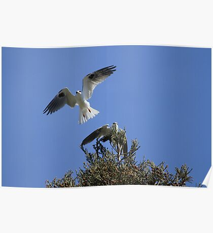 White Tailed Kite Love Poster