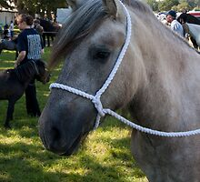 Highland Pony youngster by neverwinter