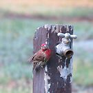 Thirsty House Finch by GreyFeather