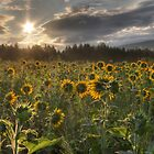 SUNFLOWERS by Lori Deiter