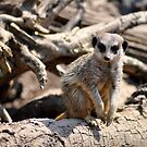 Meerkat 2 (series) by Darren Bailey LRPS