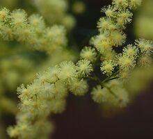 Wattle Flowers by Keith G. Hawley