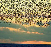 starlings  by Sara Barrow