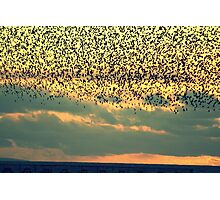 starlings  Photographic Print
