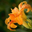 Fancy daylily by Celeste Mookherjee