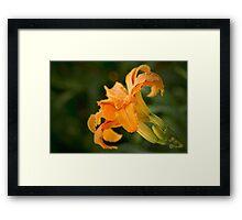 Fancy daylily Framed Print