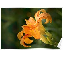 Fancy daylily Poster