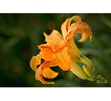 Fancy daylily Photographic Print
