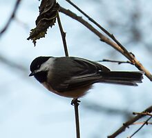Chickadee, Black-capped Under Leaf by Deb Fedeler