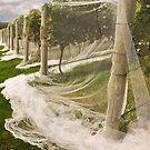 Australia, Tasmania, Bridle Vines-Wines by photoj