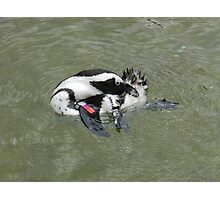 african penguin 2 Photographic Print