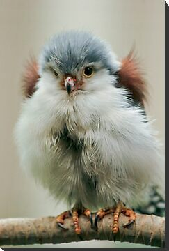 Pygmy Falcon by sshhoirtt