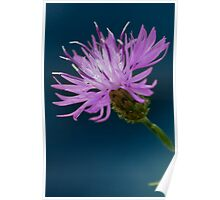 Spotted Knapweed Poster