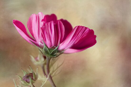 Cosmos by Mandy Disher