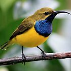 Male Sunbird by cathywillett