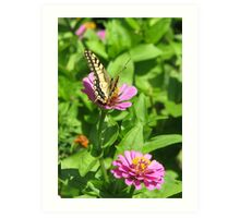 Anise Swallowtail Butterfly  (Papilio zelicaon) Art Print