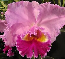 Beautiful Frilled Orchid, Cairns Botanic Gardens, Queensland. by Rita Blom