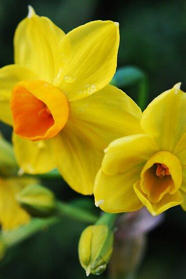 Daffodil  by Charlotte Pridding