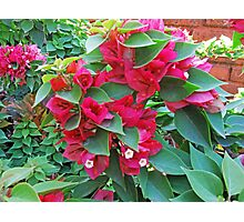 A section of pink Bougainvillea flowers Photographic Print