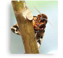 Garden tiger moth Canvas Print