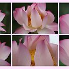Lilies on Pink by KelseyGallery