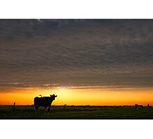 The cow Photographic Print