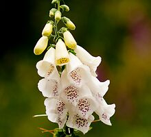 White Foxglove by David J Knight