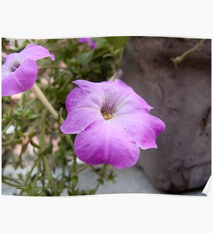 A photo of a purple trumpet shaped flower Poster
