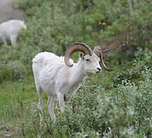 Dall Sheep by wildphotos