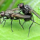 Common House Fly 02 by Magic-Moments