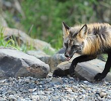 Red Fox by wildphotos