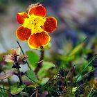 Blotched Monkey Flower by Kasia-D